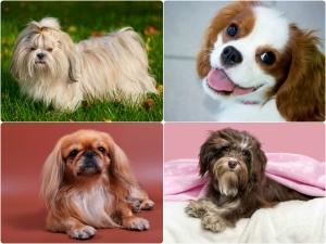 Top 10 Lapdog Breeds