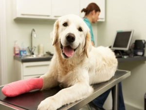 Simple Pet Care Tips An Injured Dog