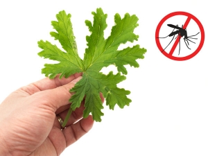 Mosquito Repelling Plants Keep Indoor