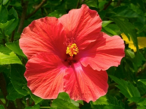 Amazing Hibiscus Its Medicinal Properties
