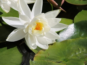 Different Medicinal Properties Water Lilly