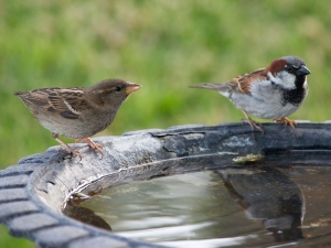 Declining Population Sparrows The World