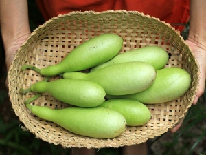 Bottle Gourd Benefits Treating Anemia Kidney Disorders