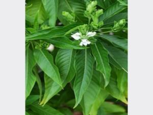 Medicinal Properties Malabar Nut