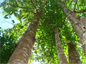 Reasons Why Agar Wood Tree Is Called As God The Trees Its He