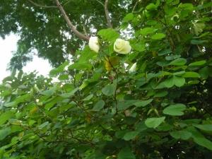 Yellow Orchid Tree Its Medicinal Benefits