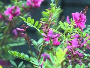 An Ayurvedic Treatment Skin Diseases Using This Herb Indigof