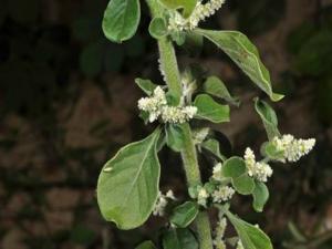 Health Benefits Polpala Plant Kidney Care