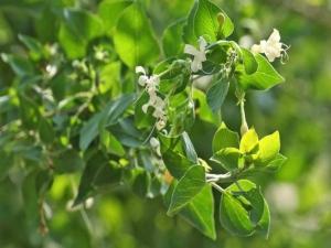 Medicinal Properites Clerodendron Phlomoidos C Indicum