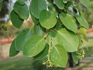Health Benefits Cordia Dichotoma To Purify The Blood