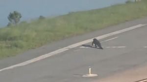 Alligator Takes A Morning Stroll Across The Runway Passenger Captures Video