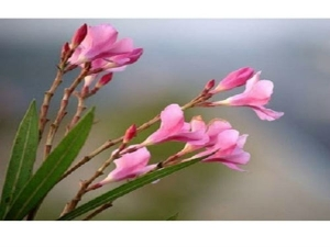 What Are The Benefits And Side Effects Of Oleander Flower