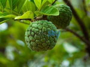 Health Benefits Custard Apple Leaves