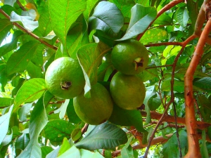 7 Amazing Beauty Benefits Of Guava Leaves
