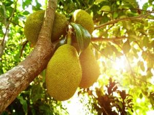 How Jackfruit Helpful For Diabetes