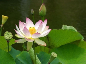 Amazing Benefits Of Lotus Skin Hair