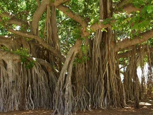 Beauty Benefits Of Banyan Tree For Skin Hair
