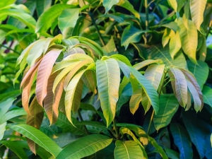 Unknown Health Benefits Of Mango Leaves
