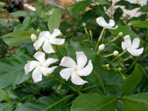 Amazing Health Benefits Of Nanthiyavattam Herb