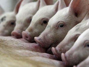 Causes Sympotoms And Preventing From Swine Flu