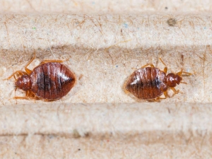 How To Get Rid Of Bedbugs Completly