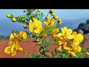 Senna Health Benefits Side Effects And Dosage