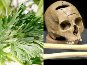 Mugwort Benefits And Usage Of Black Magic