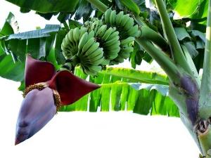 Why Do Hindus Pray To A Banana Tree