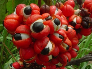 Guarana Benefits Of The Exotic Seeds Of Energy