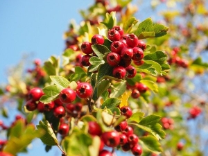 11 Lesser Known Health Benefits Of Hawthorn The Heart