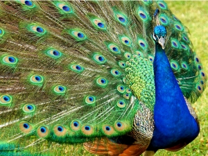 Peacock Feathers Are Believed To Be Lucky Mascots
