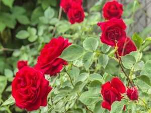 How To Grow Roses Without Soil At Home