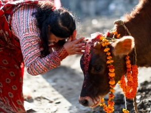 Why Indians Worship Cow As A Sacred Animal