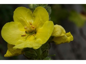 Health Benefits Of Mullein
