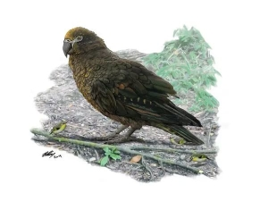 Fossils Of A 19 Million Year Old Cannibal Parrot Squawkzilla Found In New Zealand