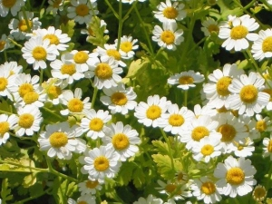 Feverfew An Ordinary Garden Plant That Has Anti Cancer Compound Kills Leukaemia Cells Scientists