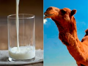 Why Camel Milk Is A Healthy Dairy Alternative
