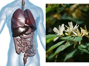 Science Backed Health Benefits Of Honeysuckle Uses Side Effects