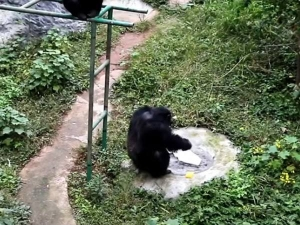 Clever Chimpanzee Was Filmed Washing Clothes At A Zoo In China