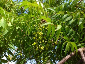 Benefits Of Neem For Diabetes And How To Use