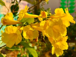 Vaastu Tips Yellow Oleander Plants Give A Lot Of Wealth