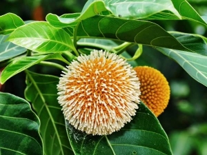 Kadamba Tree Provide Medicinal Benefits