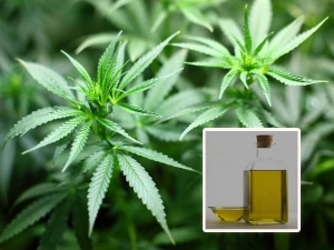 Cannabidiol Oil Know Its Benefits Uses And Risks Involved