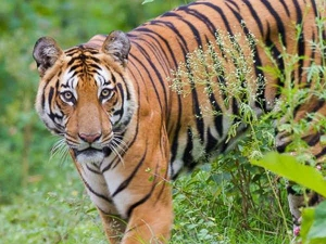 International Tiger Day Know Total Tiger Count In India And World In Tamil